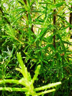 花,屋外,緑,植物,水,水滴,ガーデニング,水玉,雫,グリーン,ハーブ,ローズマリー,しずく,水やり,朝から