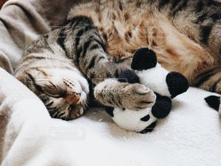 家族,猫,動物,屋内,ペット,寝る,お昼寝,すやすや,キジトラ,ネコ