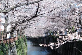 花,春,水面,樹木,さくら