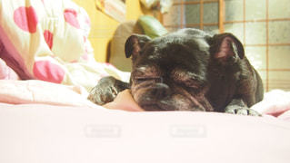 犬,パグ,ペット,わんちゃん,犬の寝顔,ワンコ,ぶさかわ