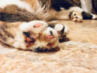 猫,動物,ピンク,足,ペット,人物,肉球,三毛,脚,cat,爪,animal,ネコ
