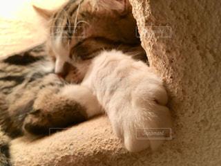 猫,動物,かわいい,ねこ,ペット,寝る,人物,お昼寝,cat,前足,animal,ネコ,おひるね,ネコ科の動物