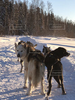 夕日,雪,海外,カナダ,大型犬,イエローナイフ,イヌ,犬ゾリ