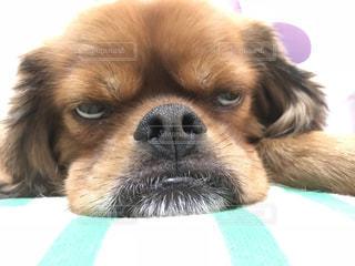 犬,動物,茶色,いぬ,ベージュ,わんちゃん,白目,ミルクティー色
