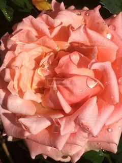 ピンクのバラの写真・画像素材[2150394]