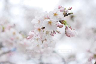 花,春,桜,木,フラワー,花見,お花見,イベント,草木,桜の花,さくら,ブルーム,ブロッサム