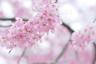 花,春,桜,木,ピンク,フラワー,花見,お花見,イベント,桃色,草木,桜の花,さくら,ブロッサム
