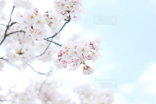 空,花,春,木,フラワー,花見,お花見,イベント,草木,桜の花,スカイ,さくら,ブルーム,ブロッサム