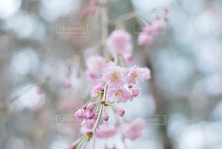 花,春,木,ピンク,フラワー,花見,お花見,イベント,玉ボケ,桃色,草木,桜の花,さくら,ブロッサム,喫茶室