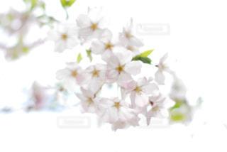 花,春,桜,木,フラワー,花見,お花見,イベント,クローズアップ,桜の花,さくら,ブロッサム