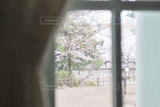 春,桜,屋内,窓,カーテン,花見,樹木,お花見,イベント,草木,桜の花,さくら,窓枠