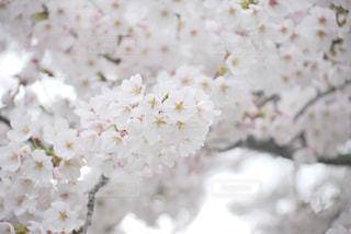 花,春,桜,白,フラワー,花見,お花見,イベント,草木,桜の花,さくら,ブルーム,ブロッサム