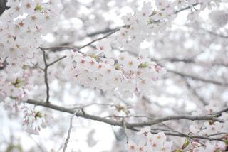 花,春,桜,木,屋外,枝,花見,樹木,お花見,イベント,草木,桜の花,さくら,ブロッサム