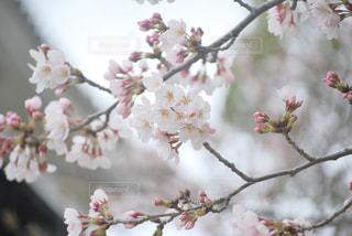 花,春,桜,木,枝,花見,樹木,お花見,イベント,草木,桜の花,さくら,ブロッサム