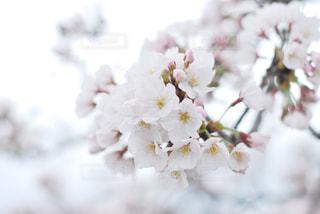 花,春,桜,木,フラワー,花見,お花見,イベント,草木,桜の花,さくら,ブルーム,ブロッサム,ぼやける,喫茶室