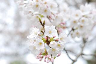花,春,桜,木,白,フラワー,花見,お花見,イベント,草木,桜の花,さくら,ブルーム,ブロッサム