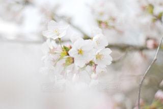 花,春,桜,木,フラワー,花見,景色,お花見,イベント,草木,桜の花,さくら,ブルーム,ブロッサム