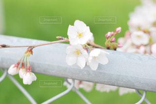 花,春,桜,木,フラワー,花見,お花見,イベント,フェンス,草木,桜の花,さくら,ブロッサム