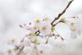 花,春,桜,木,白,花見,お花見,イベント,草木,桜の花,さくら,ブルーム,ブロッサム