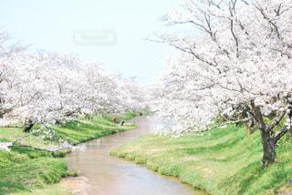 玉湯川の桜の写真・画像素材[3345001]