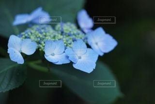 紫陽花の写真・画像素材[3374669]