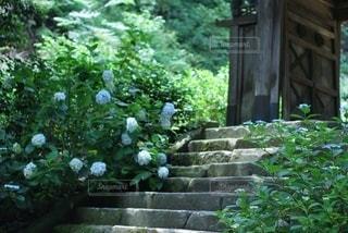 お寺の紫陽花の写真・画像素材[3374670]