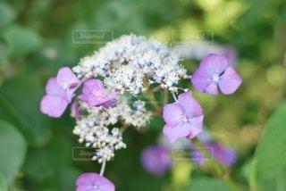 紫色の紫陽花の写真・画像素材[3374948]