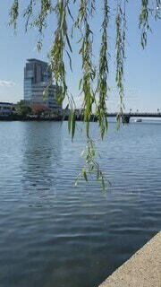 風景,空,橋,屋外,植物,川,水面,景色,観光,樹木,旅行,柳,島根県,松江市