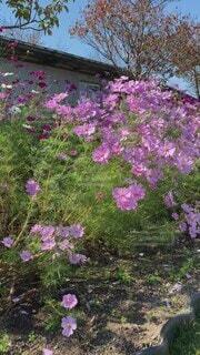 空,花,秋,屋外,植物,コスモス,フラワー,樹木,秋桜,草木,ガーデン