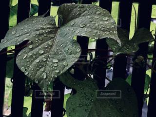 しずくの葉の写真・画像素材[2124514]