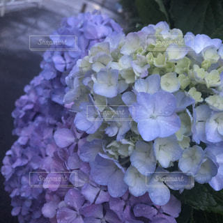 花,雨,綺麗,紫陽花,雫,梅雨,天気,雨の日,優しい雨
