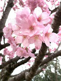 飲み物,花,春,桜,ピンク,人物,イベント,グラス,乾杯,ドリンク,パーティー,桜の花,手元,さくら