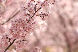 花,春,桜,屋外,樹木,お花見,桜の花,さくら