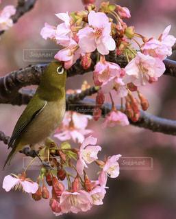花,桜,動物,鳥,景色,お花見,イベント,メジロ,草木