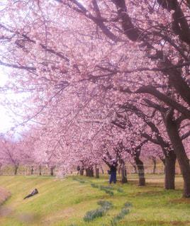 公園,花,春,屋外,桜並木,景色,草,樹木,お花見,草木,桜の花,日中,さくら