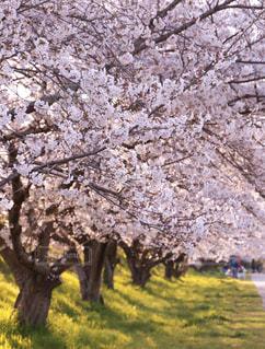 家族,花,春,桜,屋外,夕方,花見,桜並木,草,樹木,イベント,桜の花,さくら