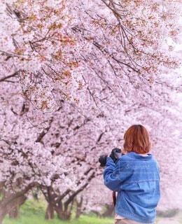 桜を撮るの写真・画像素材[3660571]