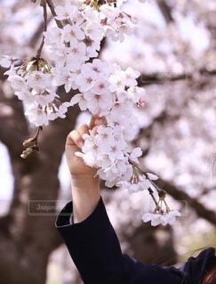 花,春,女の子,手持ち,美しい,人物,ポートレート,ライフスタイル,草木,桜の花,手元,さくら