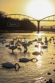 夕焼けと白鳥の写真・画像素材[4230789]