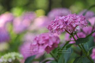 紫陽花の写真・画像素材[4572717]
