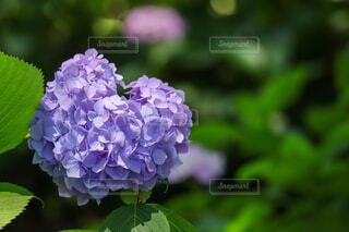 紫陽花の写真・画像素材[4572721]