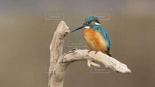 動物,鳥,魚,屋外,樹木,野鳥,カワセミ,青い鳥,腰掛け,止まり木