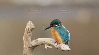 動物,鳥,魚,屋外,川,池,樹木,カラー,水鳥,カワセミ,青い鳥,止まり木