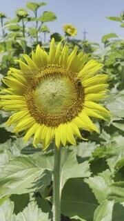 自然,風景,空,花,夏,屋外,ひまわり,黄色,蜂,たくさん,なつ,ハチ,草木,向日葵畑,花粉,配置,フローラ