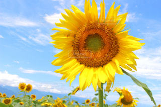 青空と向日葵の写真・画像素材[2142422]