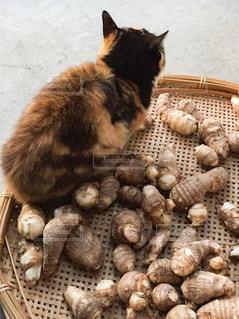 里芋と猫の写真・画像素材[2712533]