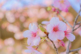 梅の花の写真・画像素材[2784053]