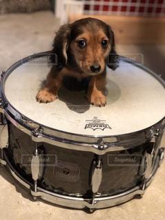 動物,可愛い,音楽,子犬,ミニチュアダックス,キュート,puppy,ドラム