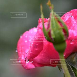 自然,風景,花,水滴,バラ,景色,赤い花,薔薇,雫,しずく,草木