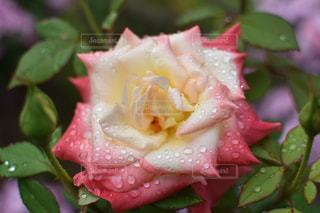 自然,風景,花,水滴,バラ,景色,赤い花,薔薇,しずく,草木,日中